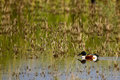 Northern shoveler anas clypeata male in breeding plumage swims in a marsh in california s salton sea in spring Stock Images