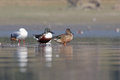 Northern shoveler anas clypeata pair of stand on the shore Royalty Free Stock Photos