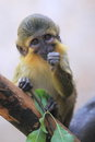 Northern talapoin the sitting on the tree Royalty Free Stock Images