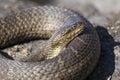 Northern Water Snake Nerodia sipedon sipedon basking on a rock Royalty Free Stock Photo