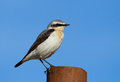 Northern wheatear on the blue sky background Royalty Free Stock Photography