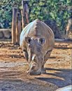 Northern White rhinoceros, Ceratotherium simum cottoni, today only the last two rhinos Royalty Free Stock Photo