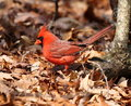 Northrn cardinal northern foraging on the forest floor Royalty Free Stock Photo