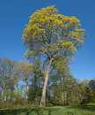 Norway Maple (Acer platanoides) Stock Image