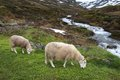 Norway sheep Royalty Free Stock Photo