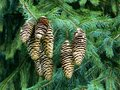 Norway Spruce Cones on a Fir tree,