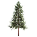 Norway spruce tree isolated on white Royalty Free Stock Photo