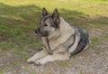 Norwegian Elkhound gray Royalty Free Stock Photo