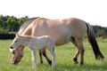 Norwegian fjord horse mare with her ​​colt Royalty Free Stock Image
