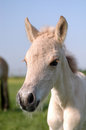 Norwegian fjord horse portrait of a foal Royalty Free Stock Image