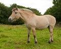 Norwegian Fjord horse Royalty Free Stock Photo