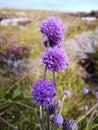 Photo : Spherical purple flowers on a thin stem   2019