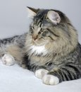 Norwegian Forest cat Royalty Free Stock Photography