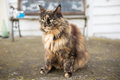 Norwegian forest cat brown and black color Royalty Free Stock Photography