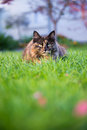 Norwegian forest cat focus on eye Stock Image