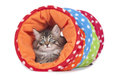 Norwegian forest cat lying in a toy tunnel isolated on white Stock Photos