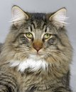 Norwegian forest cat portrait of a Stock Photos