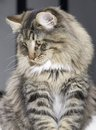 Norwegian forest cat portrait of a Stock Photo