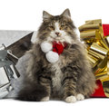 Norwegian forest cat wearing a christmas scarf with present boxes isolated on white Royalty Free Stock Photos