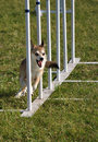 Norwegian Lundehund weave poles at agility trial Royalty Free Stock Photo