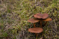 Norwegian mushroom surprise webcap or red gilled webcap picking mushrooms right before winter comes Stock Images