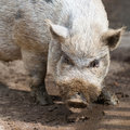Nose of dirty grey african swine standing on earth ground Stock Photos