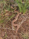 Nose horned viper wild vipera ammodytes montandoni general view Stock Images