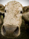 Nosey Cow Royalty Free Stock Images