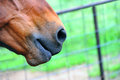 Nosey muzzle of quarter horse sits in corner of photo with fence and green grass in background Stock Photography