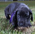 Nosey puppy black great dane inching toward the camera lens Stock Image