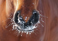 Nostrils of bay horse in to snow closeup Royalty Free Stock Photo