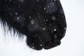 Nostrils of friesian horse and snowflake close up Stock Photo