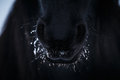 Nostrils of friesian horse in to snow close up Stock Photos