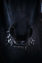 Nostrils of friesian horse in to snow closeup Royalty Free Stock Image