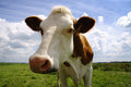 Nosy cow this is so very interested in the photographer with his funny camera info camera focus on the s head not on Royalty Free Stock Photography