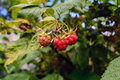 Not Plucked raspberries on a branch Royalty Free Stock Photo