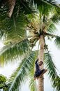 Asian man climbing coconut tree in Southeast asian country Royalty Free Stock Photo