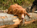 Nova scotia duck tolling retriever doggy friend resting on the trek Royalty Free Stock Photography