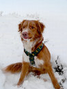 Nova scotia duck tolling retriever the snowy mountains Royalty Free Stock Images
