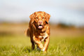 Nova scotia duck tolling retriever is walking towards the camera Stock Photos