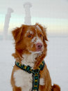 Nova scotia duck tolling retriever winter portrait the snowy mountains Stock Image