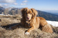 Nova scotia retriever on the trek 2 Stock Images