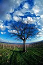 The november vineyard symbolically dead tree in Royalty Free Stock Images