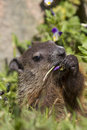 Now thats tasty a groundhog eating flower in field Royalty Free Stock Images