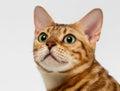 Närbild bengal cat looking up på vit Fotografering för Bildbyråer