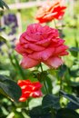 Blooming Rose flower closeup. Shallow depth of field. Spring flower of pink rose. Closeup of pink rose spring flower. Spring flowe Royalty Free Stock Photo