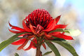 NSW Waratah flower Royalty Free Stock Photo