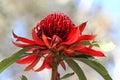 NSW Waratah flower Royalty Free Stock Photo
