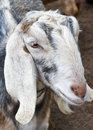 Nubian goat Royalty Free Stock Photo