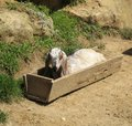 Nubian Goat in feeder Royalty Free Stock Images